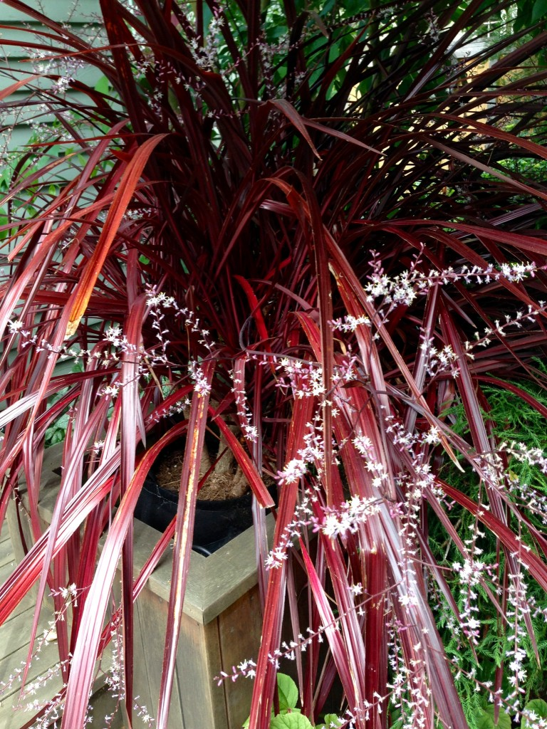 Another wider shot of the Cordyline?