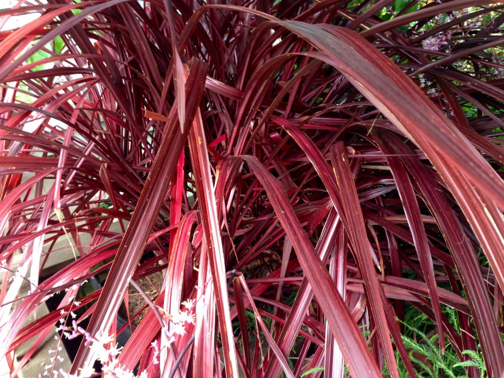I'm thinking this beauty is a Cordyline.