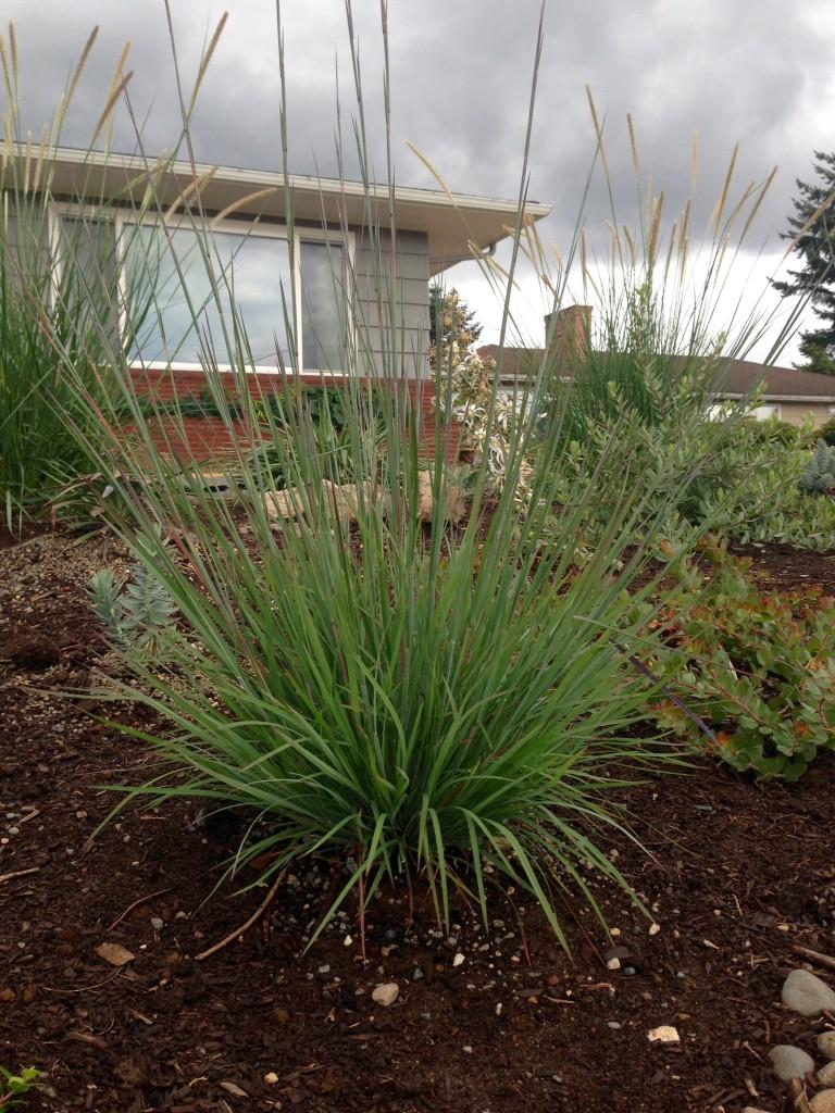 Pennisetum macrourum aka African Feather Grass