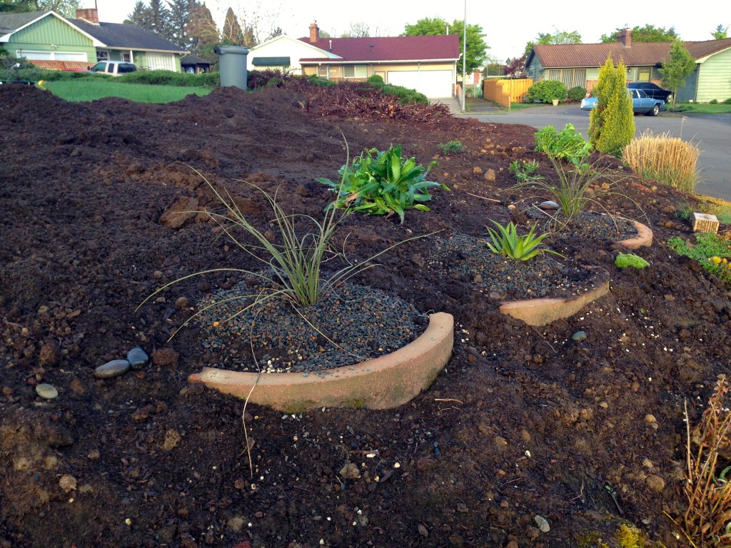 First plants, Nolina ? flanking Agave bractosa. Tee hee.