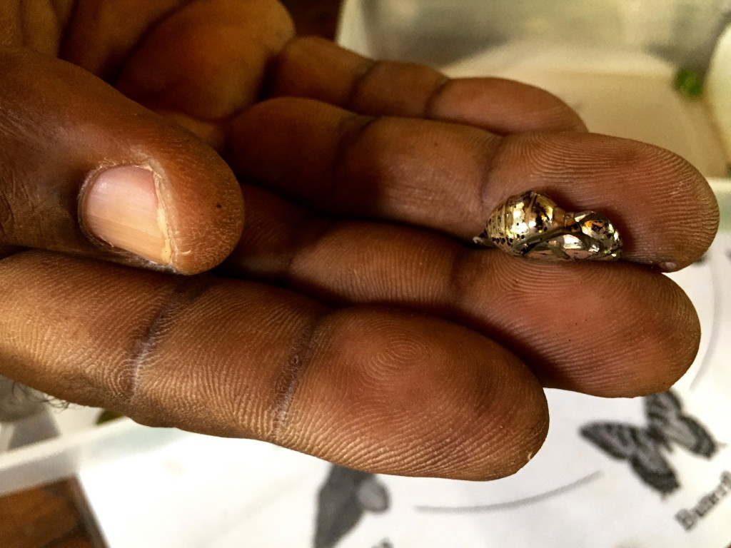 metalic chrysalis in hand