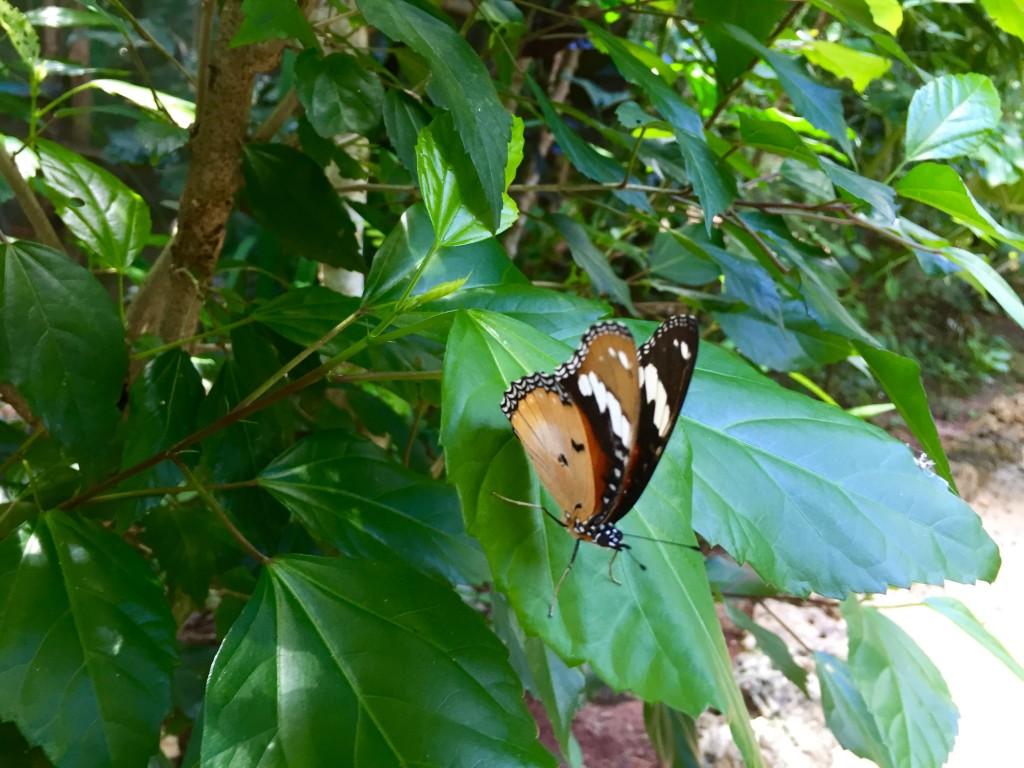 Hypolimnas Missipus wings up