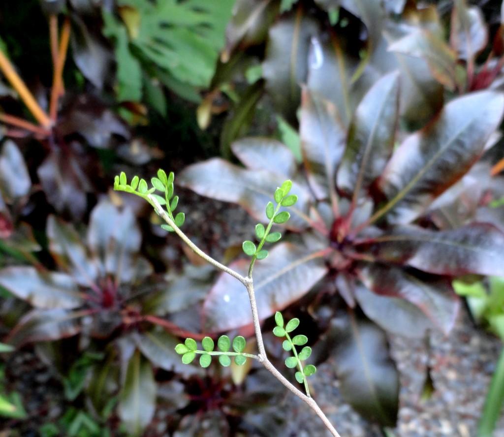 Sophora prostrata 'Little Baby' 2