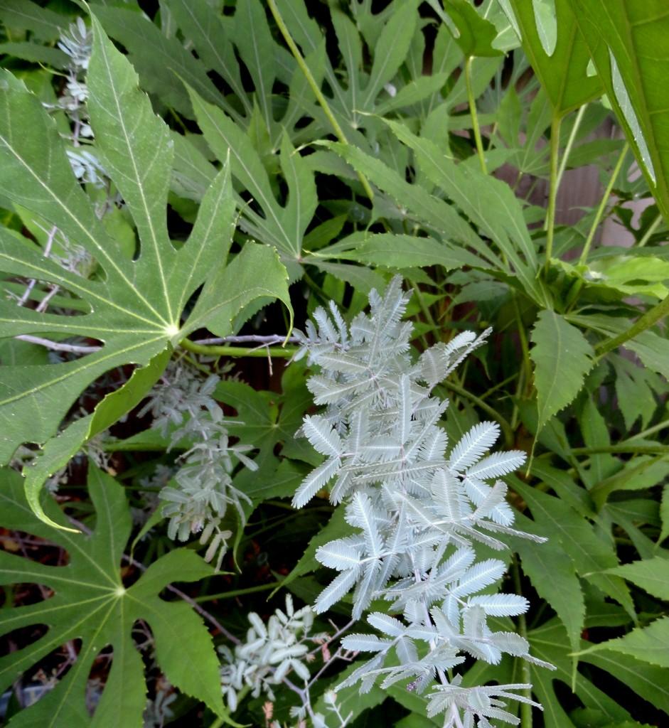 Fatsia polycarpa 'Needham's Lace' and Acacia baileyana 'Purpurea' 2