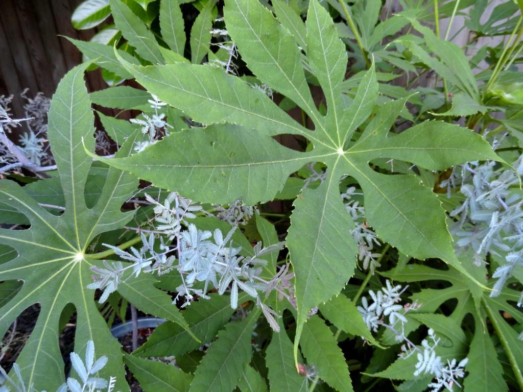 Fatsia polycarpa 'Needham's Lace' and Acacia baileyana 'Purpurea' 1
