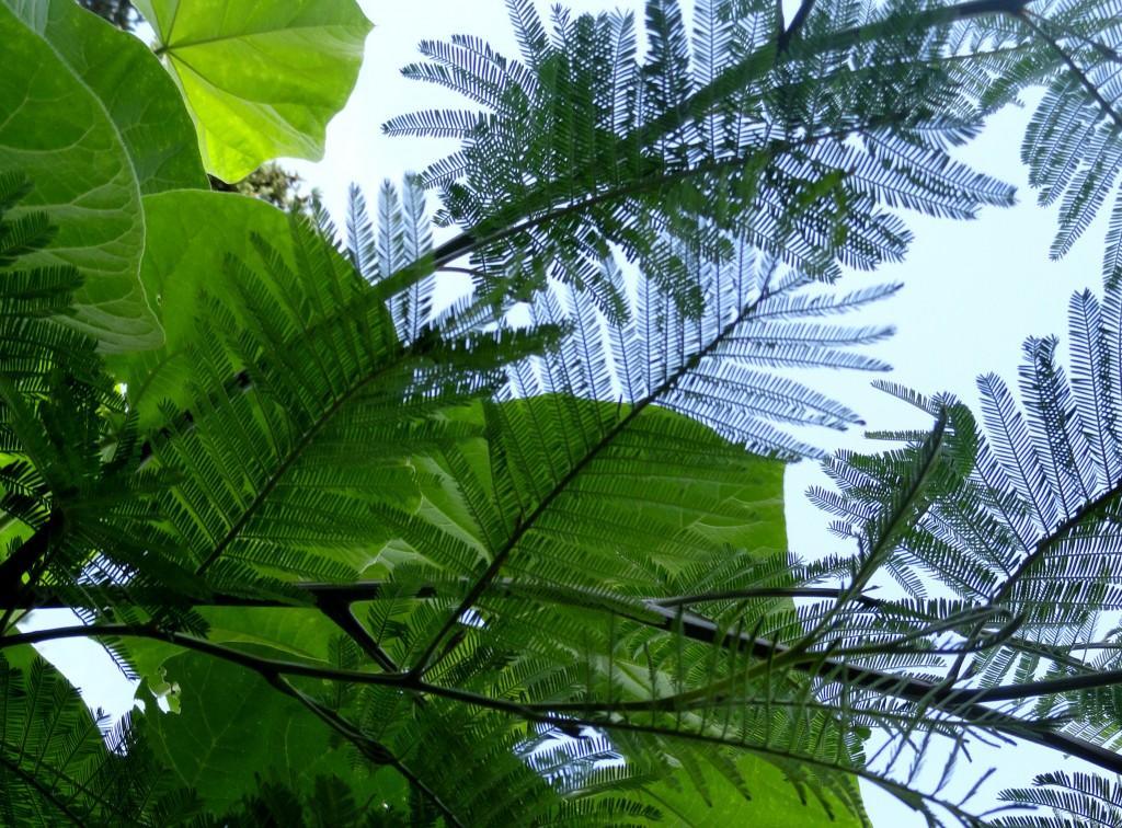 Acacia dealbata and Paulownia tomentosa 2