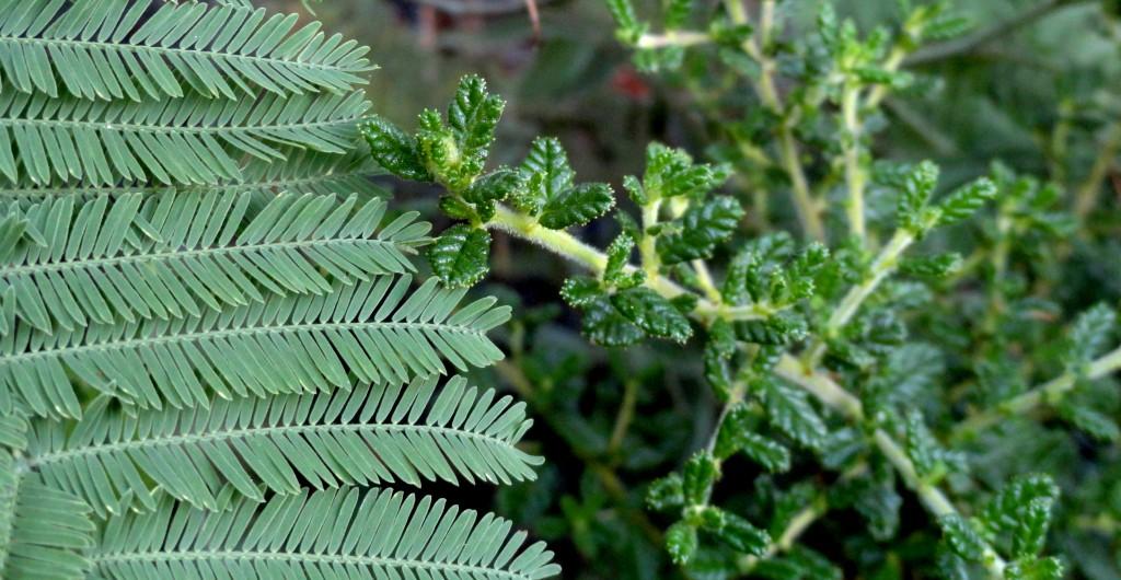 Acacia dealbata and Ceanothus 'Dark Star'