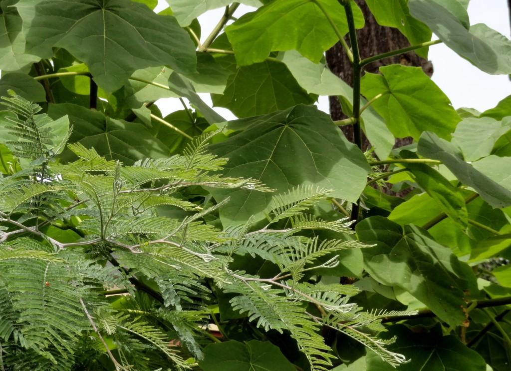 Acacia dealbata and Paulownia tomentosa 1