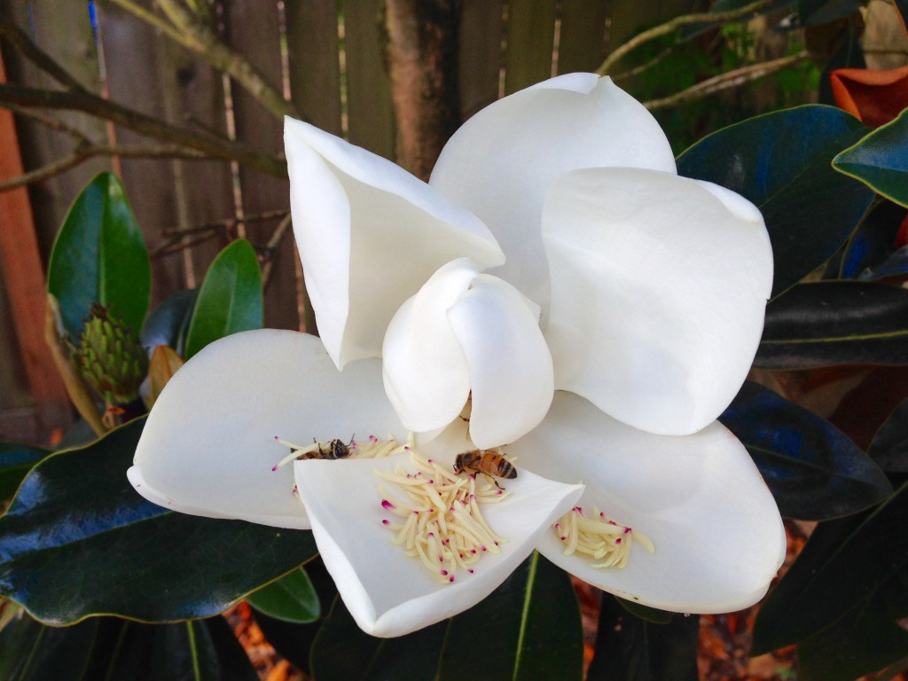 Magnolia grandiflora 'Edith Bogue' I'm guessing.