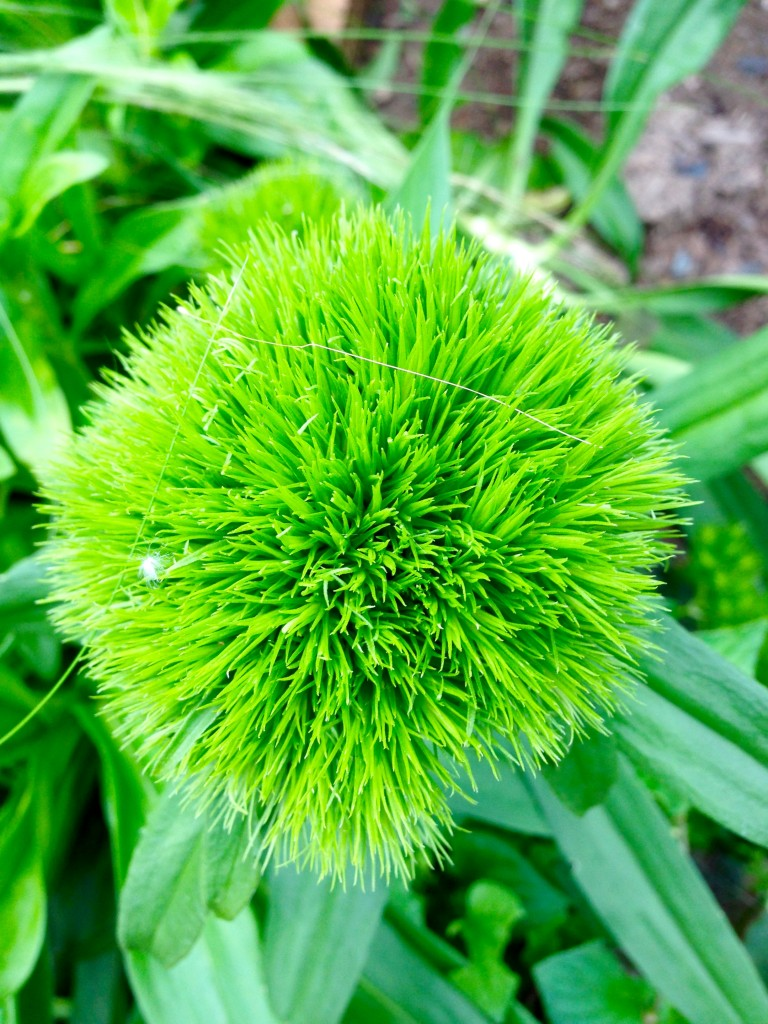 Green Wicky Dianthus, stand up, will you!