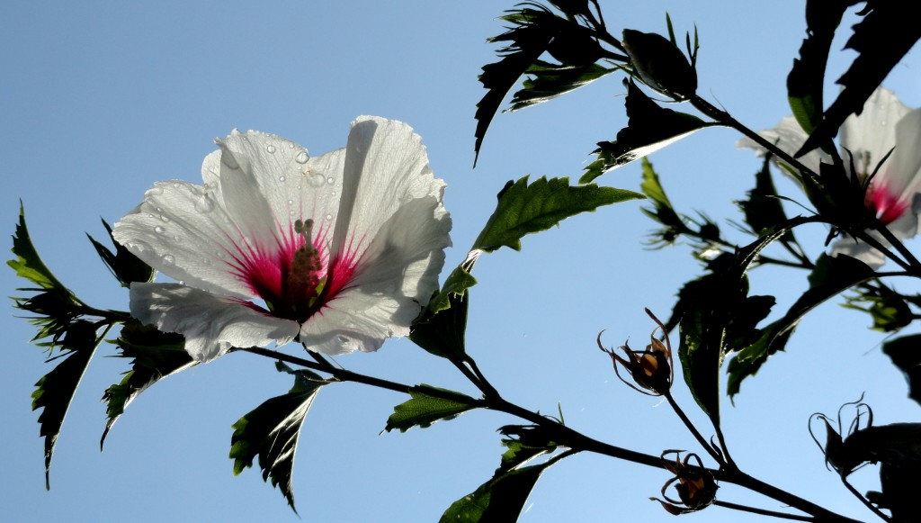 Hibiscus syriacus 'Red Heart' c