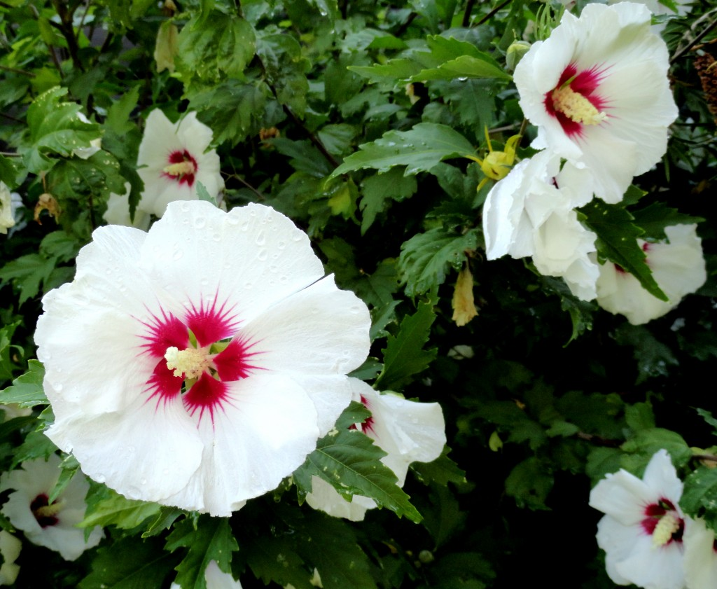 Hibiscus syriacus 'Red Heart' a