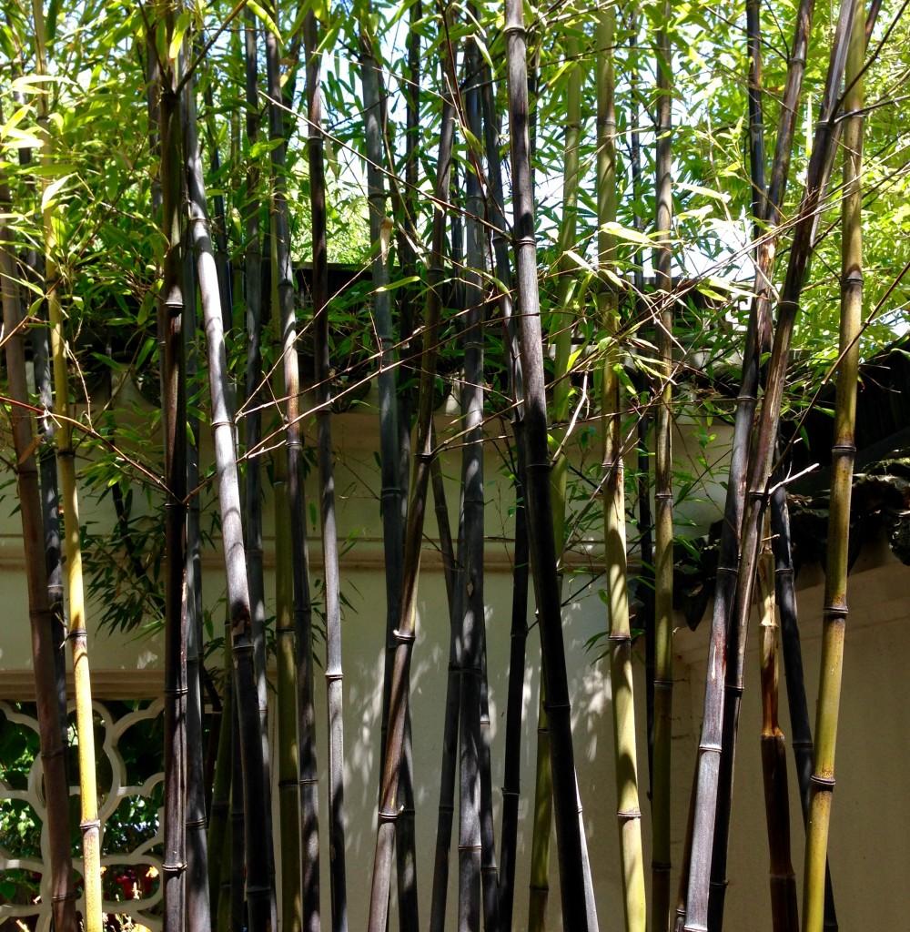 Phyllostachys nigra aka Black Bamboo