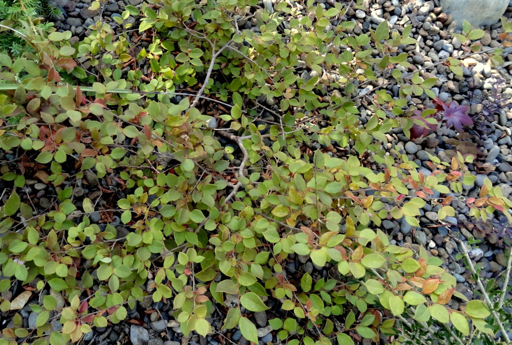 Loropetalum chinense var. rubrum 'Hindwarf' no color
