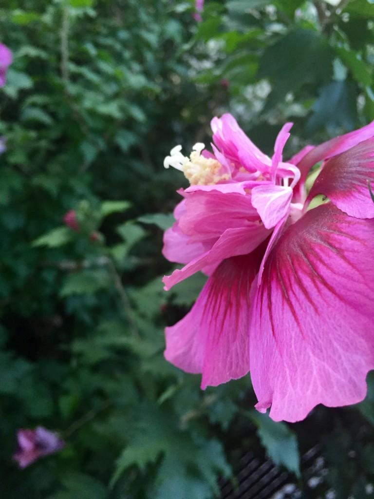 rose of sharon 2