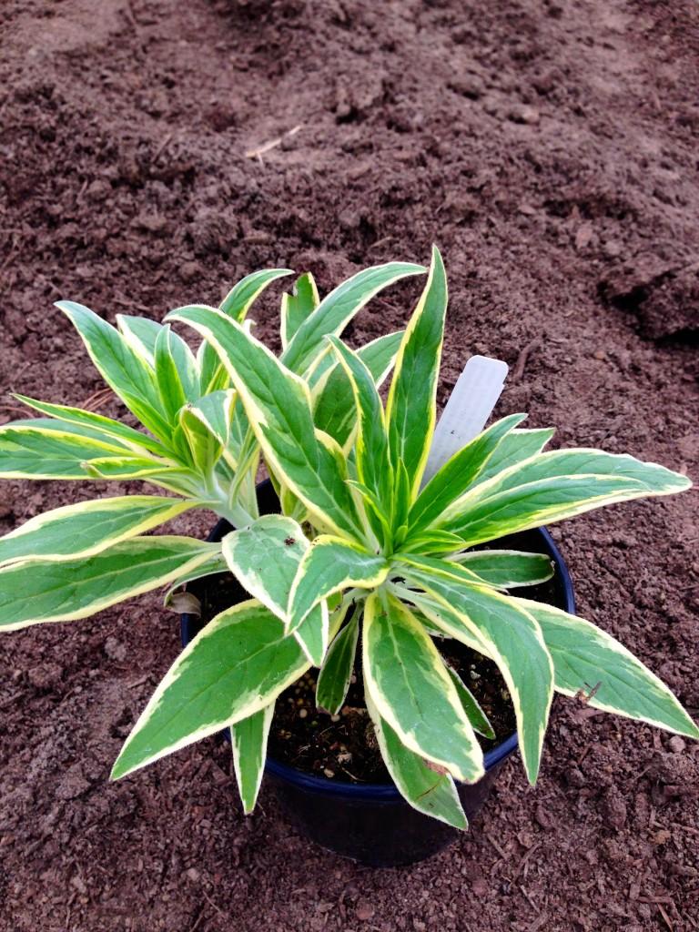 Echium variegata a $7.99 plant that packs a powerful punch.
