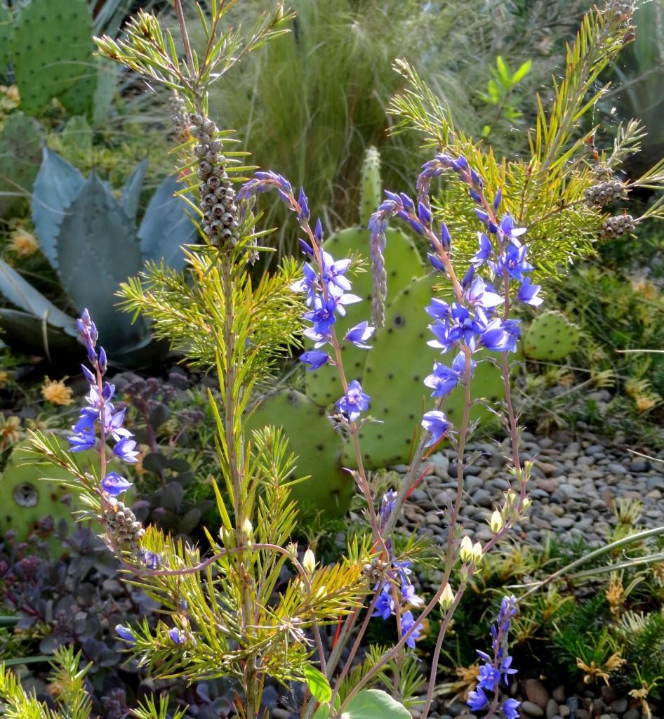 Callistemon sieberi and Parahebe perfoliata