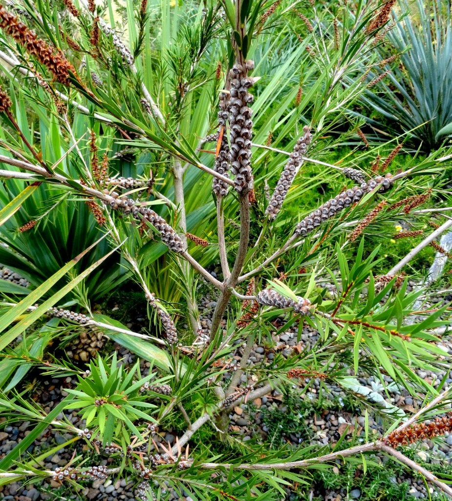 8 Callistemon 'Woodlander's Hardy Red' seed pods