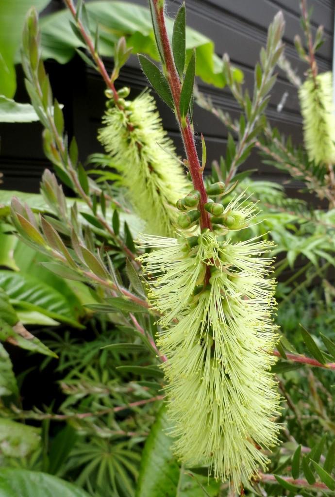 4 Callistemon viridiflorus flower