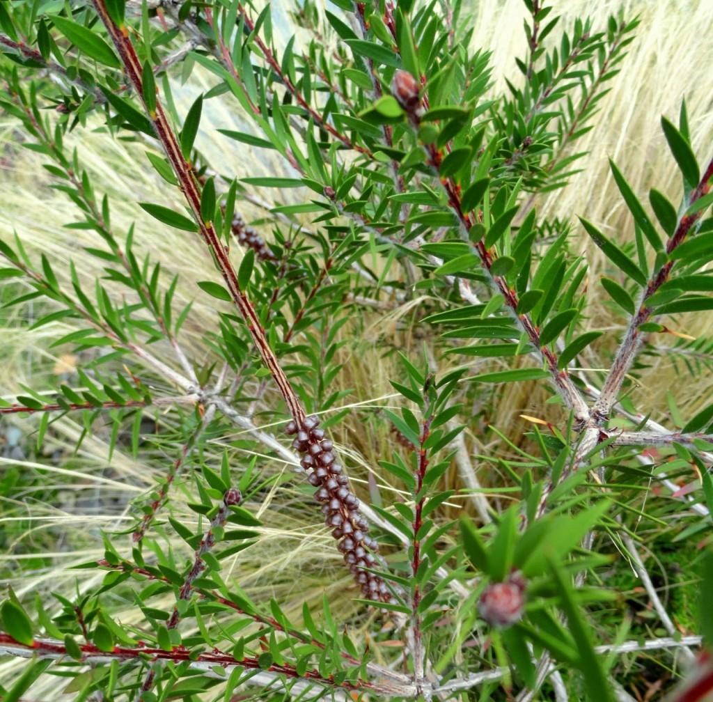 2 Callistemon viridiflorus foliage