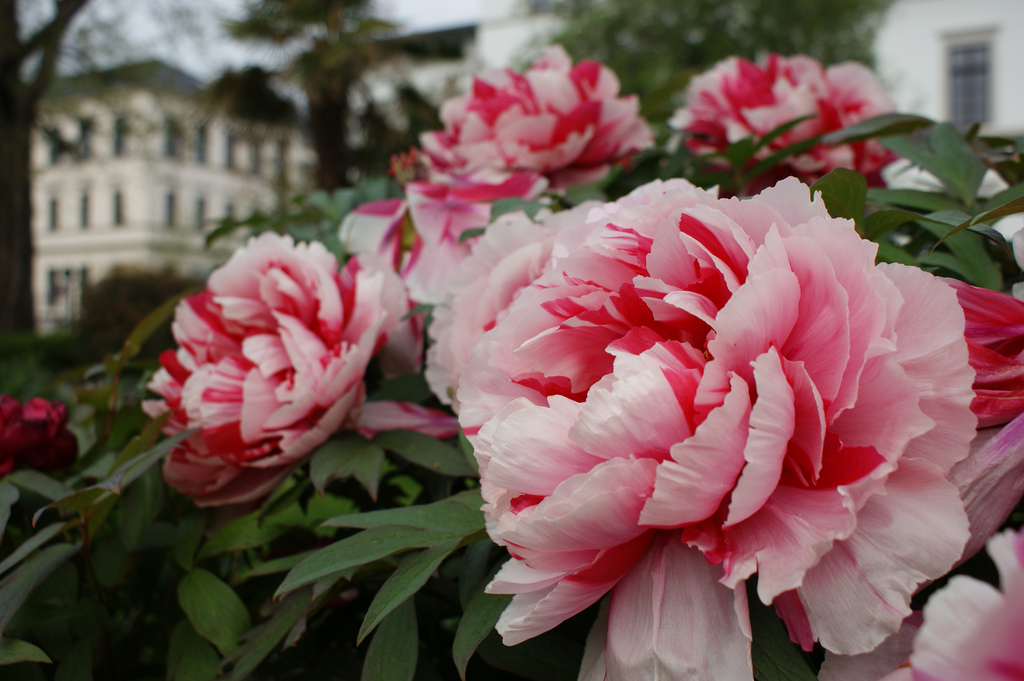 Paeonia suffruticosa shimanishiki by Karl Gercens