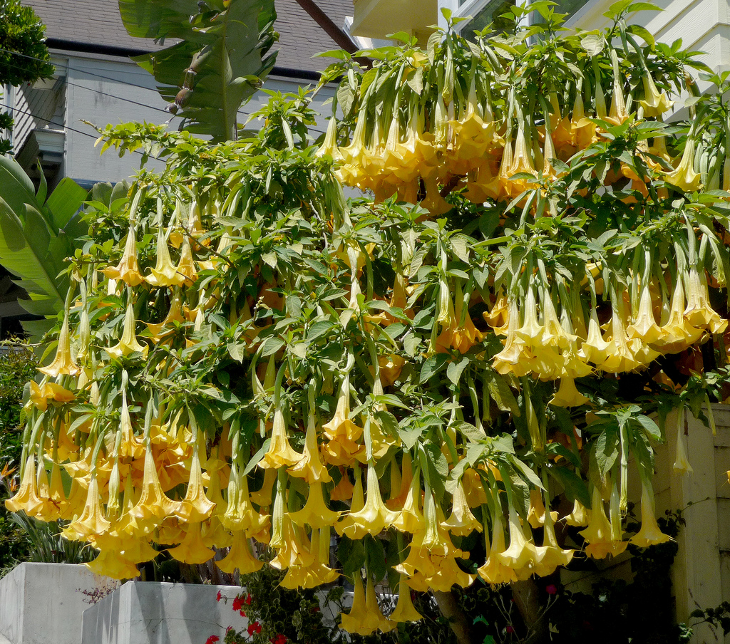 Brugmansia 'Charles Grimaldi' by James Gaither