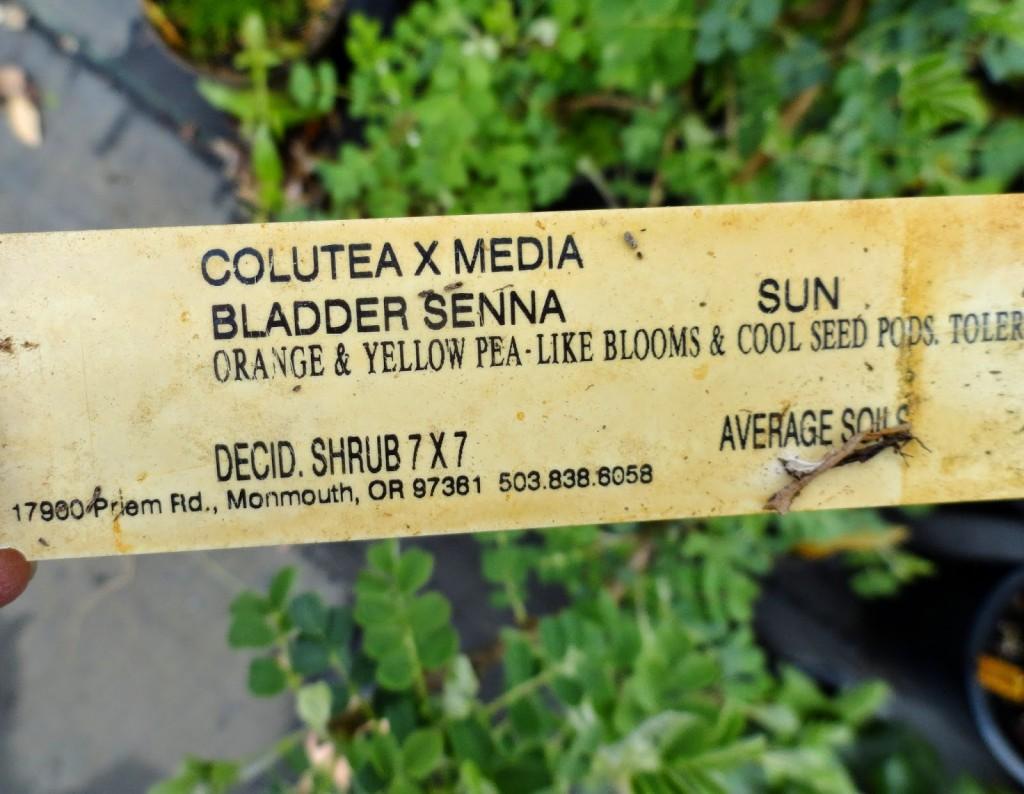 Colutea x media at Dancing Oaks label