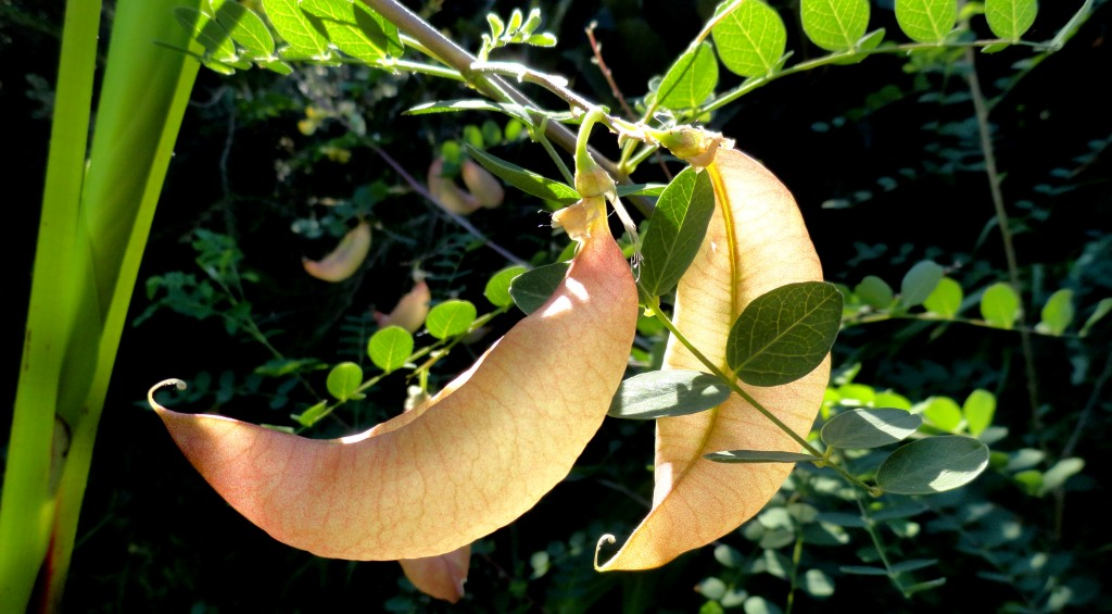 Bladder Senna; here we go talking about that name thing again…