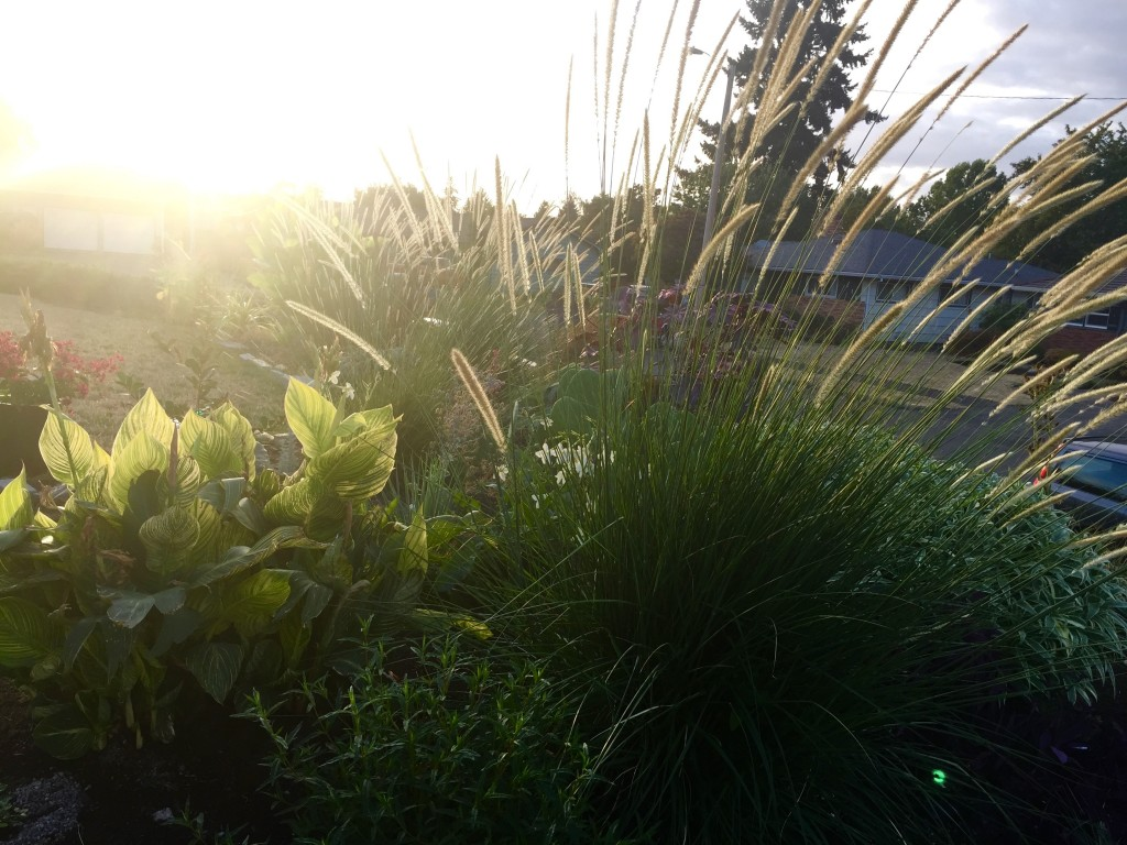 Pennisetum macrourum from scott weber