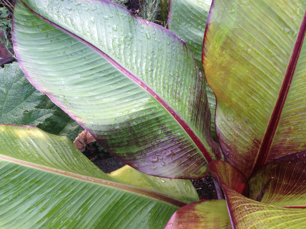 Ensete ventricosum 'Maurelii' aka Abyssinian Ornamental Red Banana