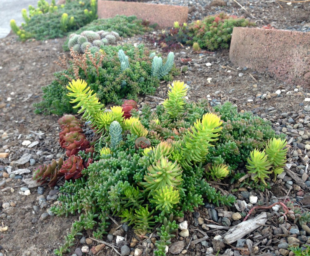 Mixed Sedums from Little Prince of Oregon