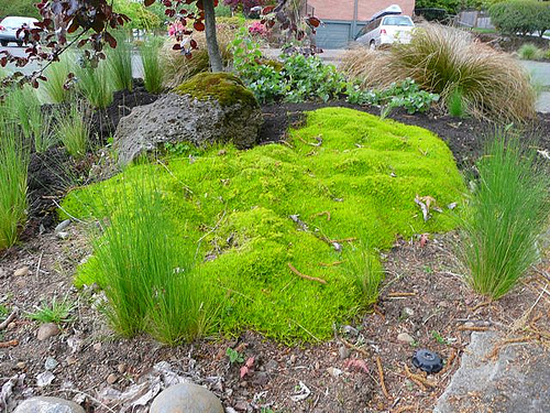 Scotch Moss in my Alameda Garden. Really good, for a while.