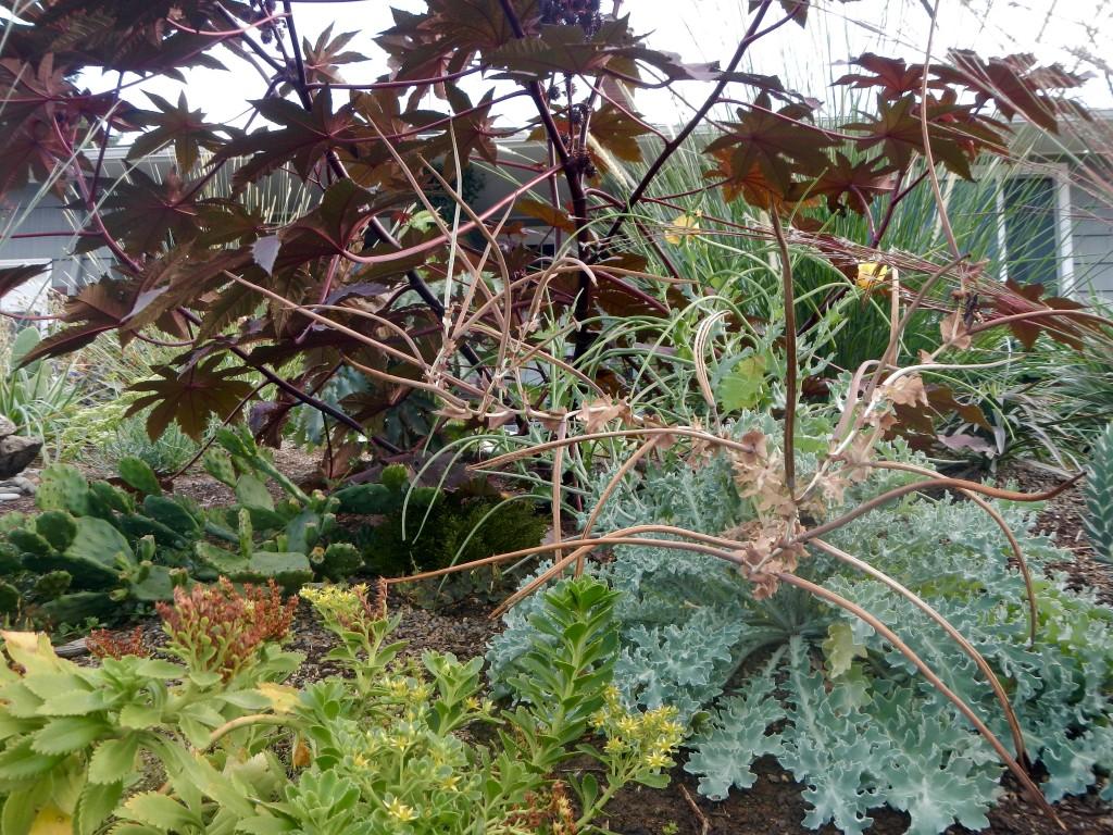 Ricinus 'New Zealand Purple' & Glacium flavum (with many seeds)