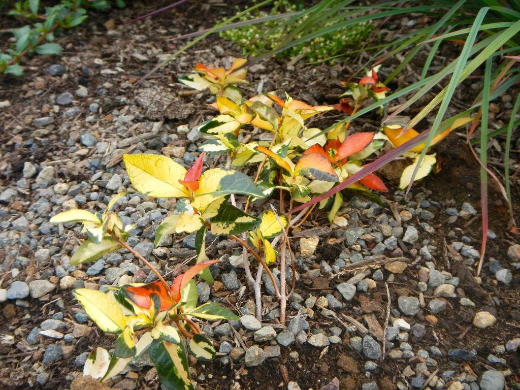 Trachelospermum asiaticum 'Ogon Nishiki' aka Ogon Nishiki Japanese Star Jasmine