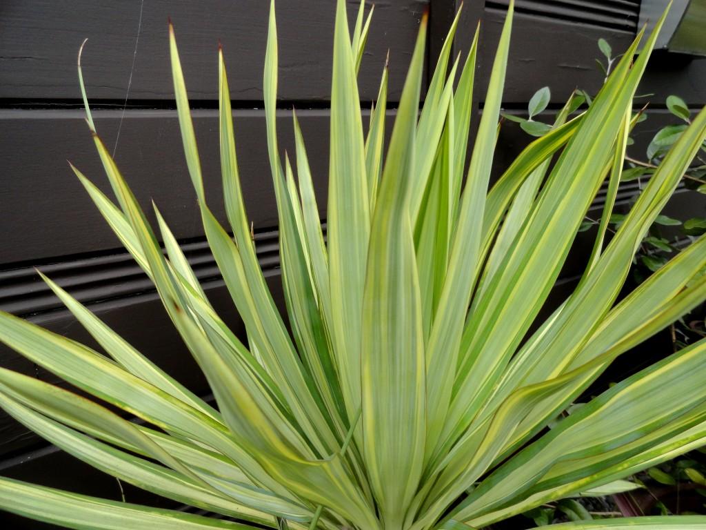 Yucca recurvifolia 'Margaritaville'