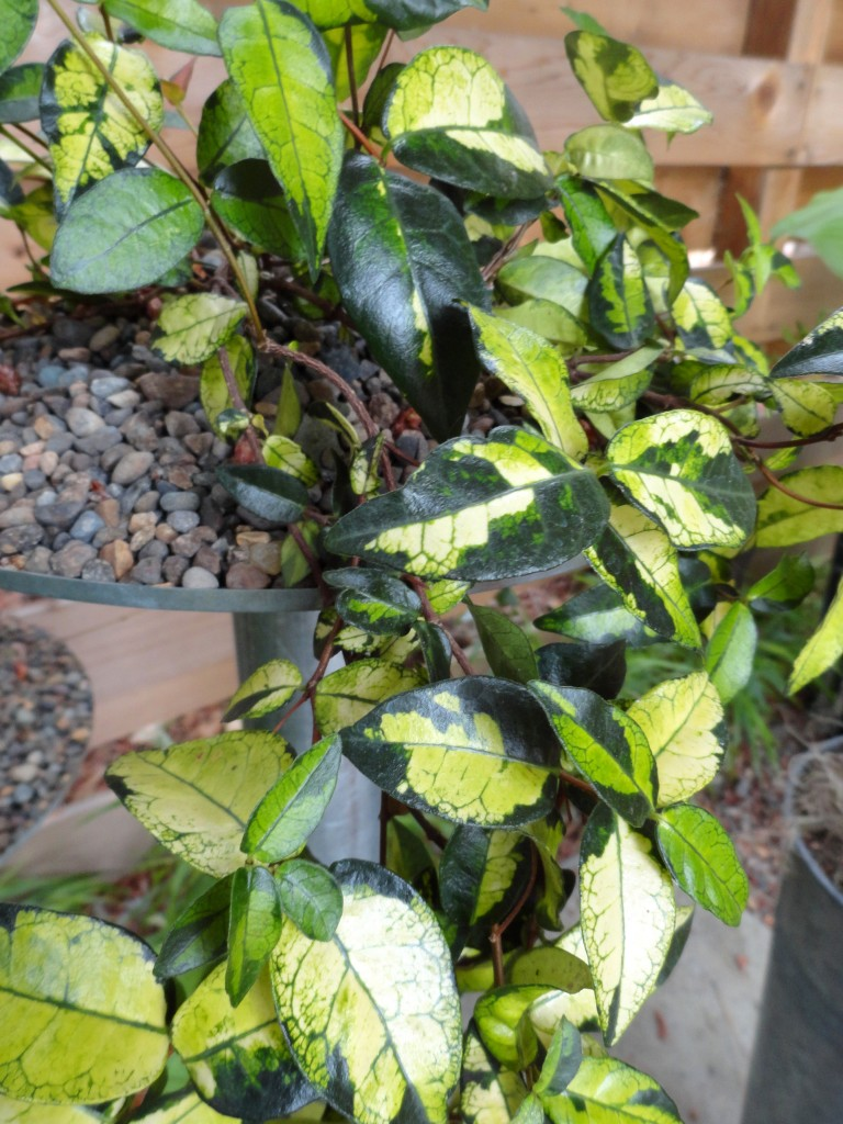 Trachelospermum asiaticum 'Ogon Nishiki' close-up