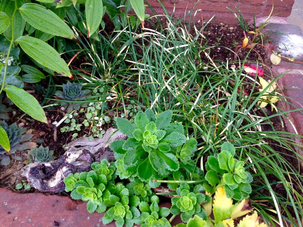 Mondo & Jasmine & Fuchsia procumbens 'Mary Miller'