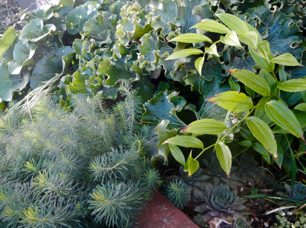 Farfugiums and Disporum, with mini the understory Euphorbia.