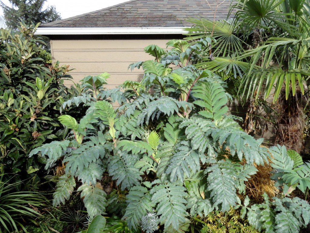 Melianthus and friends