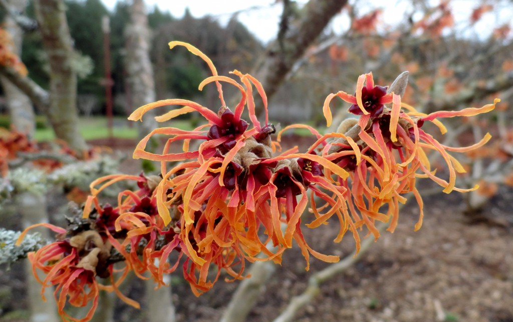 Witch-hazels are weird