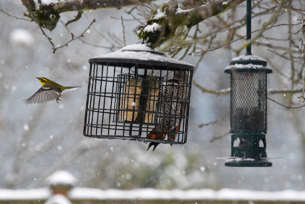 the birdies got in high gear. here a Northern Flicker and Townsend Warbler share the suet.
