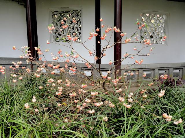 Edgeworthia chrysantha Akebono form
