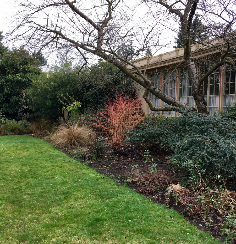 Espied at Kennedy School in NE PDX, perchance Cornus sanguinea 'Midwinter Fire'. Details at 11--or when I find out for sure.