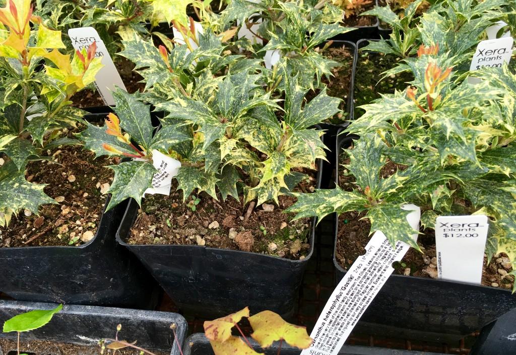 Osmanthus hetrophylla 'Goshiki'