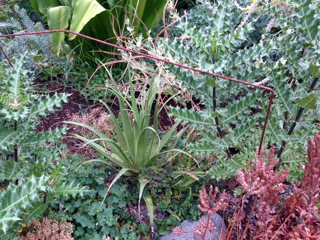 And the same Agave bracteosa in my current garden.