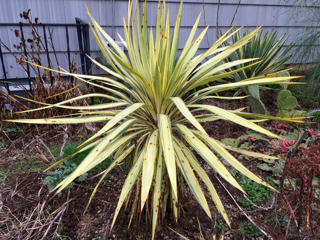 I thought this Yucca was done for, but no.