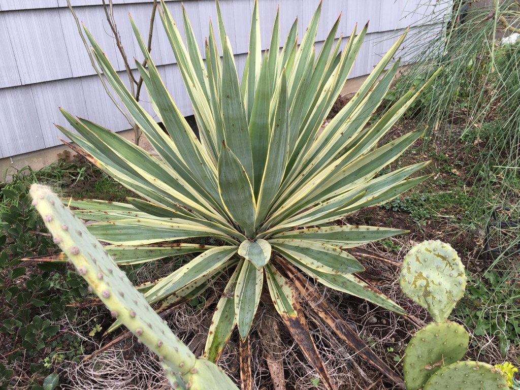 Yucca that has an i.d., I just can never remember.