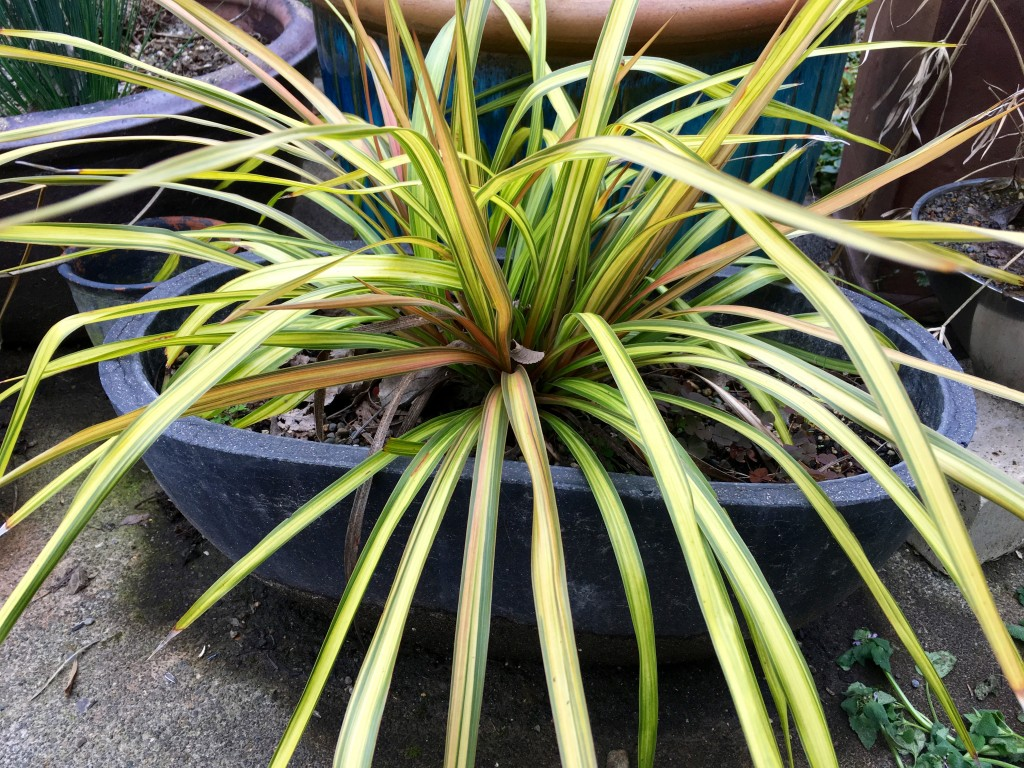 Cordyline 'Cha Cha' in a pot.