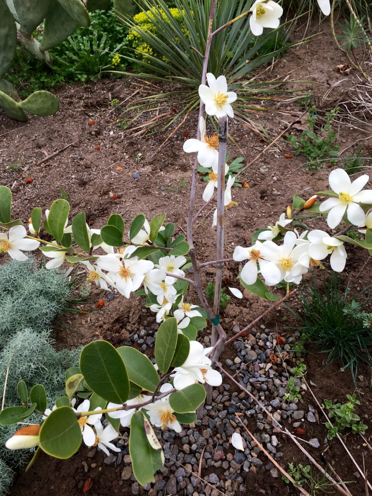 This tiny Magnolia laevifolia is blooming its heart out. Adorable, no?