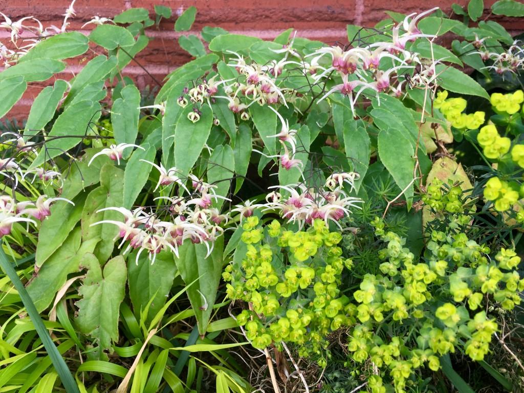 Epimedium and Euphorbia 'Fen's Ruby' mingling with aplomp.